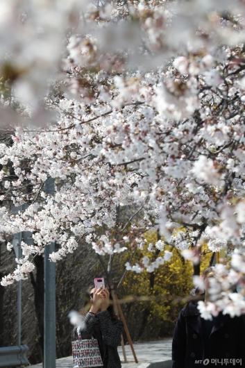 [사진]'벚꽃 활짝'