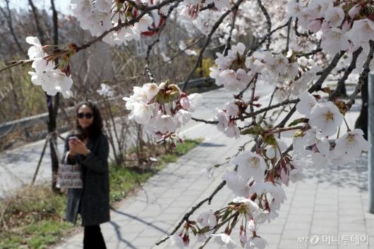 [사진]'벚꽃이 활짝 피었습니다'