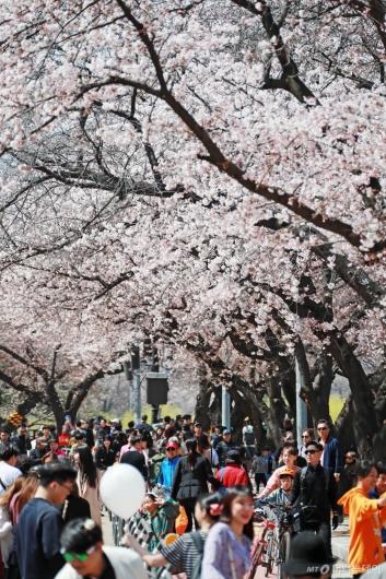[사진]벚꽃축제 즐기는 시민들