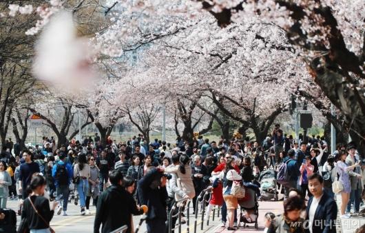 [사진]'벚꽃 향연'
