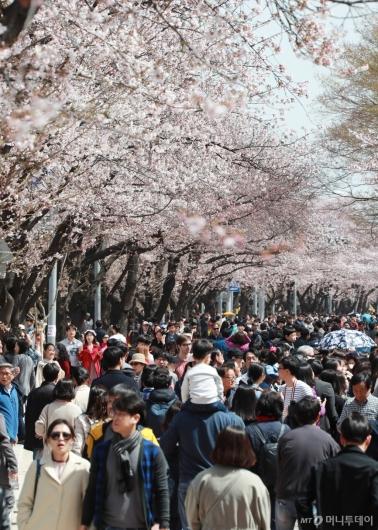 [사진]'벚꽃천국'