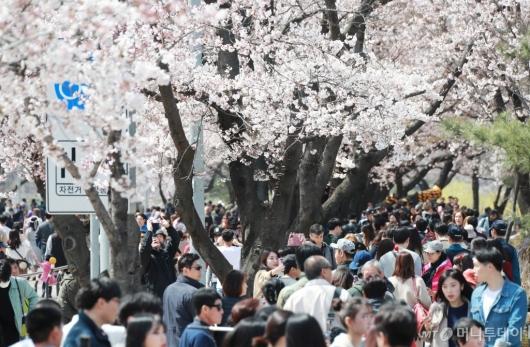 [사진]여의도 벚꽃 인파
