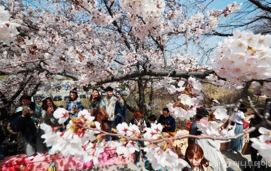 [사진]'여의도는 벚꽃 천국'