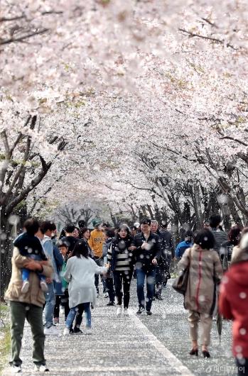 [사진]눈 처럼 흩날리는 벚꽃