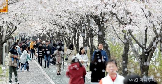 [사진]'벚꽃 엔딩'