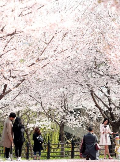 [사진]'벚꽃 놀이'