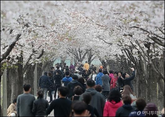 [사진]'쏟아지는 벚꽃잎'