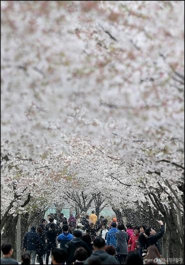 [사진]'벚꽃비'