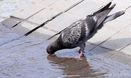 [사진]갑작스런 더위...비둘기도 물 한 모금