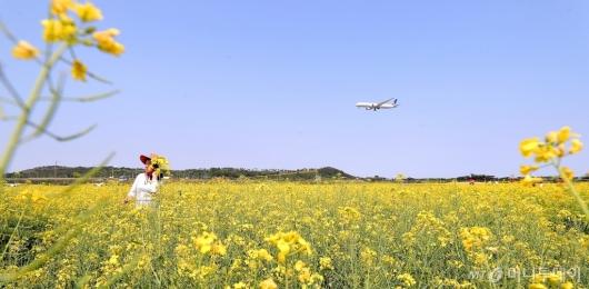[사진]'유채꽃과 비행기'