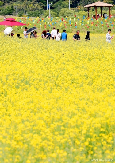 [사진]'노란 유채꽃밭에서'