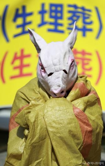 [사진]돼지 살처분...'생매장은 막아주세요'