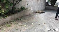 청주 멧돼지 7마리 출몰…경찰 허벅지 물려
