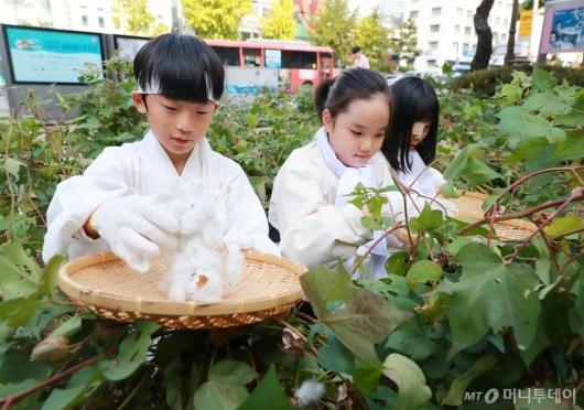 [사진]도심 속 목화 수확 체험하는 아이들