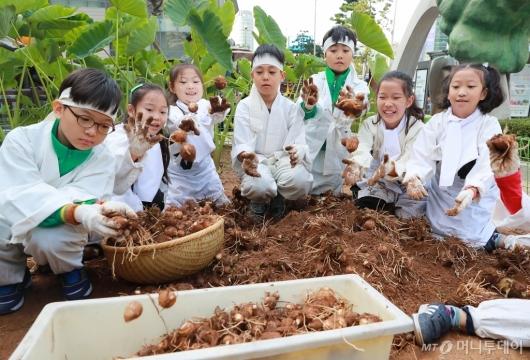 [사진]도심 속 토란 수확 체험하는 아이들