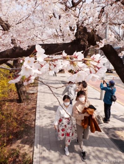 [사진]통제 전 마지막 벚꽃 나들이