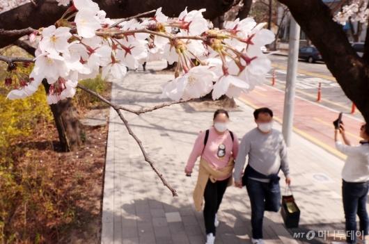 [사진]통제 전 마지막 벚꽃나들이