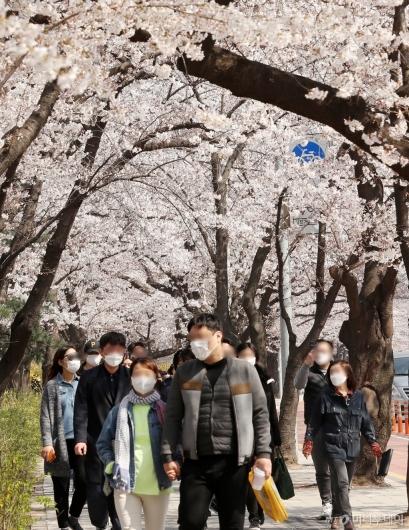 [사진]마스크 쓰고 벚꽃나들이