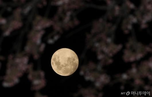 [사진]저물어 가는 벚꽃 속 밝게 빛나는 슈퍼문