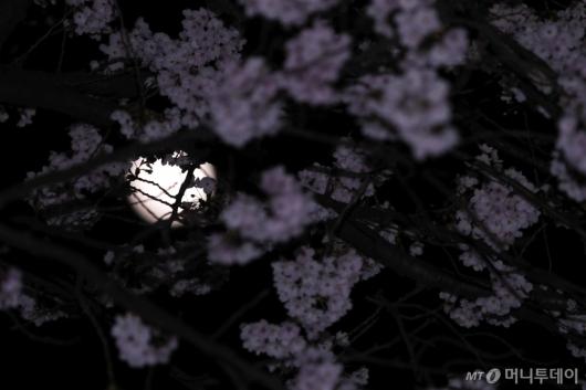 [사진]구름같은 벚꽃 사이 '슈퍼문'