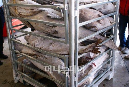 ▲중국원양자원 매출의 60% 이상을 차지하는 우럭바리의 모습. 찌게, 튀김 등으로 중국인들이 주로 먹는 물고기로 가격이 비싼 고급 어종이다.