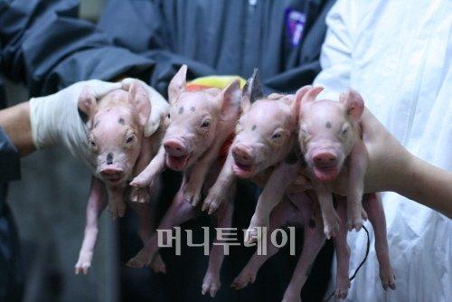 ↑ 형질전환 돼지는 인간과 유사한 섭식습관 지녀 기존 당뇨치료제 개발용 '흰 쥐'보다 유용성 크다는 것이 수암연구원의 주장이다. 자료=수암생명공학연구원<br />