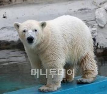 ↑서울동물원에서 위탁받아 보호 중인 북극곰 '삼손'