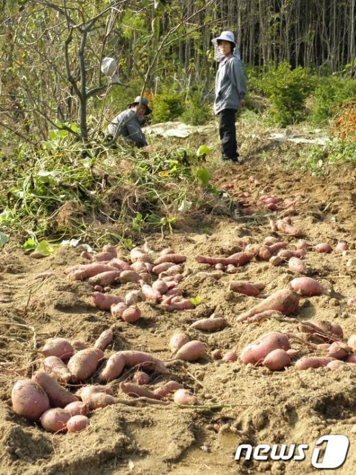 2일 오후 경북 포항시 북구 신광면 밭에는 가을 고구마를 수확하는 농민들이 분주히 움직이고 있다./최창호 기자 News1