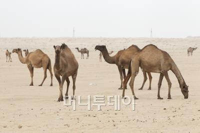 ↑사막을 지나다보면 낙타들이 수없이 보인다.