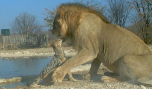 '하룻 강아지' 자칼, 사자를 물다