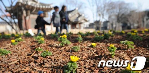 [사진]포근한 날씨에 피어오른 복수초