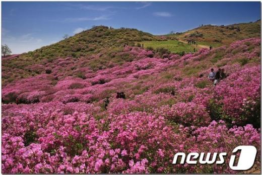 경남 창녕군 남지 유채꽃 단지는 그 규모만 33만㎡(10여만평)에