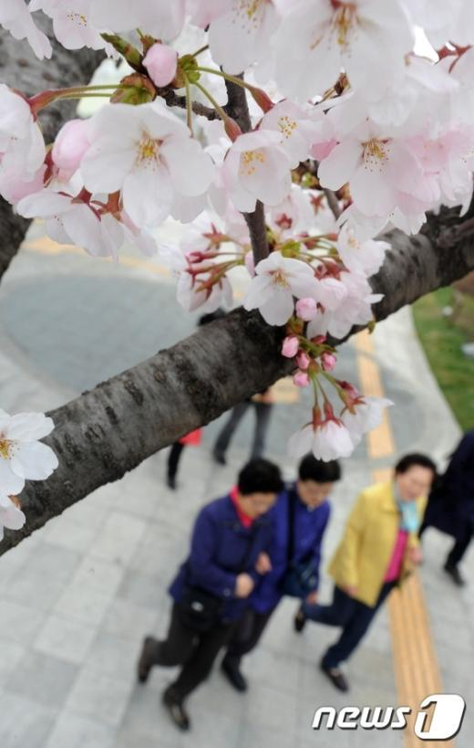 [사진]벚꽃길 산책하는 시민들