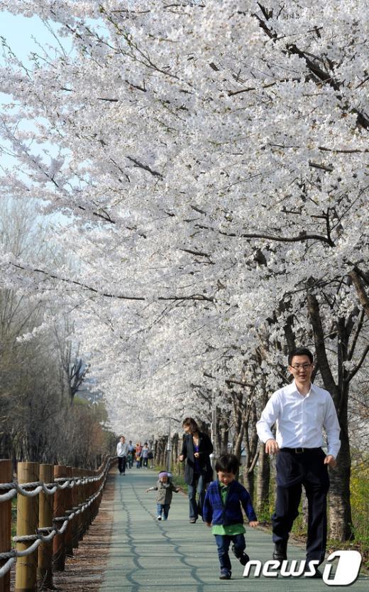 [사진]벚꽃 만개한 도심