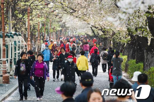 [사진]꽃눈 내리는 장안벚꽃길