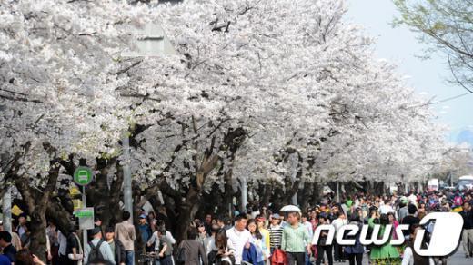 [사진]여의도 윤중로 '벚꽃 만개'