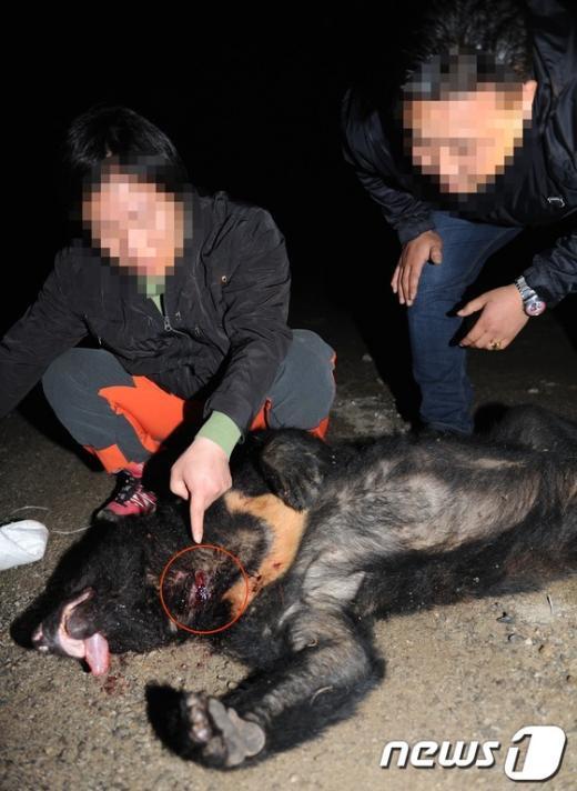 [사진]사살된 반달곰에 꽂혀 있는 '의문의 호스'