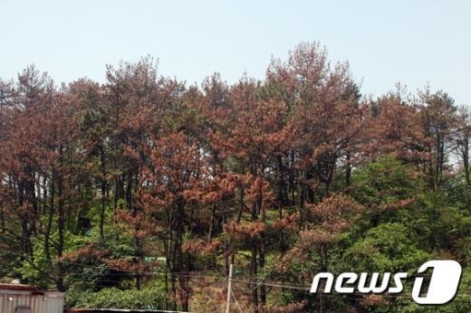 울산 울주군 온산읍 강양, 우봉리 일원 국가산업단지 예정 부지의 소나무 잎들이 마치 단풍 든 것처럼붉게 변해 있다.  News1 변의현 기자
