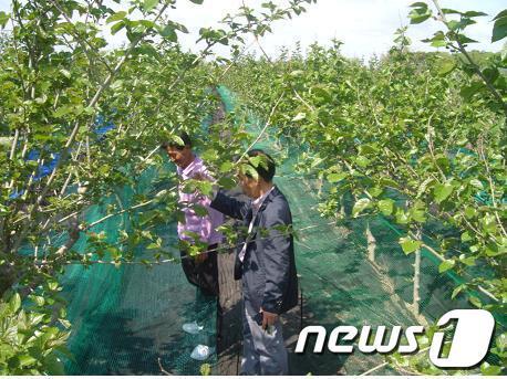 전북 부안군이 오디뽕 수확망을 개발해 일손절감으로 농가소득에 앞장서고 있다. 부안군은 수확망 설치로 10a당 100만원정도의 추가 소득을 올일 것으로예상하고 있다. /사진제공=부안군 News1