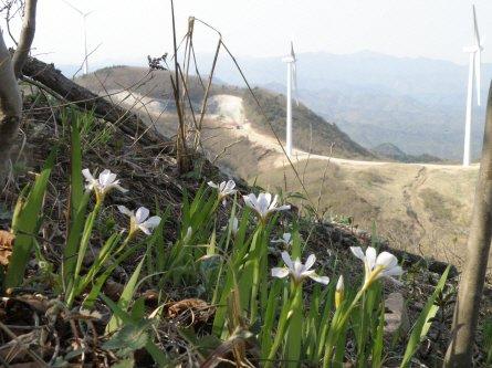 경북 영양의 풍력발전시설 주변에 멸종위기 2급인 노랑무늬붓꽃 서식지가 있어 환경파괴 논란이 제기되고있다.  News1