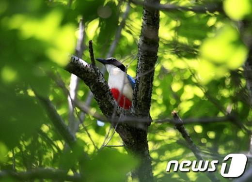 나무가지에 앉은 팔색조. /사진제공 = 김영춘씨  News1