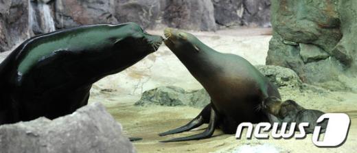 [사진]사랑 나누는 캘리포니아 바다사자 가족