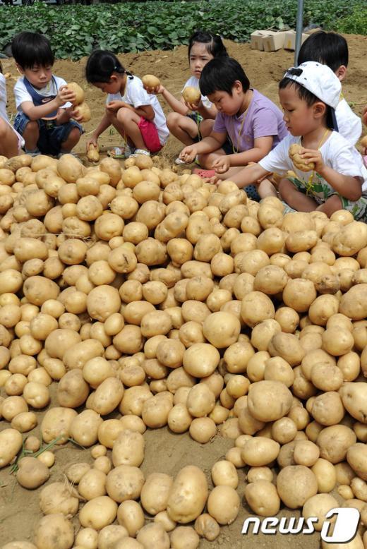 [사진]고사리 손으로 감자 수확