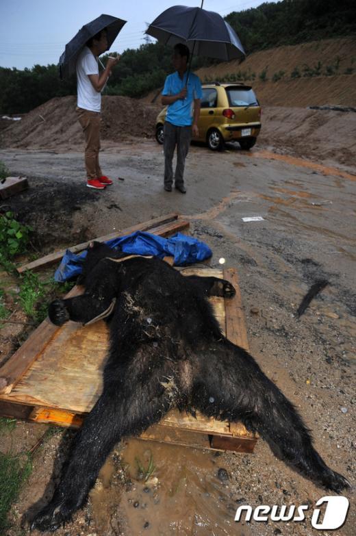 [사진]용인 탈출곰 사살, 남은 1마리 수색 중