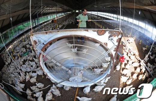 [사진]축산농가 '폭염과의 싸움'