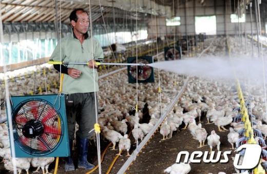[사진]폭염 비상, '닭 살려라!'