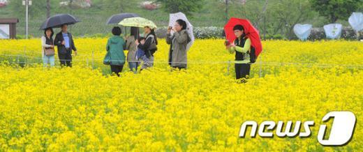 [사진]봄비 내리는 유채꽃밭
