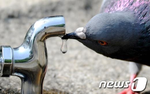[사진]목 타는 비둘기