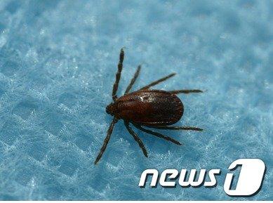 작은 소참 진드기.(질병관리본부 제공)  News1