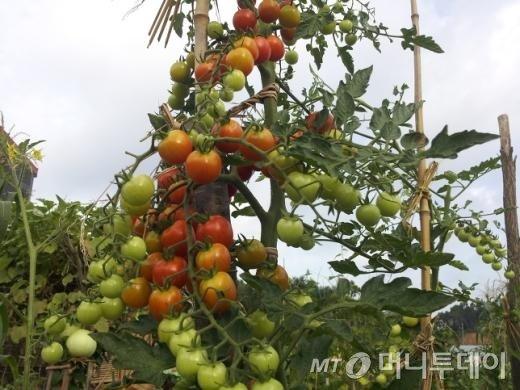 '귀농 검사' 오원근 변호사의 텃밭에 열린 토마토들/사진=머니투데이 이해인 기자